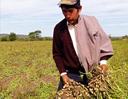 Producción manual de Maní en Bolivia